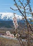 Mandelblüte in Sierra Nevada Lizenzfreie Stockbilder
