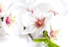 Mandelblüten Lizenzfreies Stockfoto