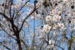 Mandelblüten lizenzfreie stockbilder