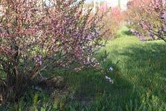 Mandelblüten in der Stadt lizenzfreie stockfotos