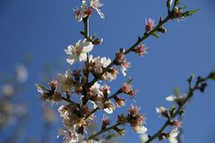 Mandelblüten gegen einen blauen Himmel lizenzfreie stockbilder