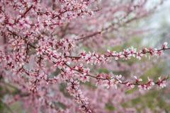 Mandelblommor med oavkortad blom för rosa toner på Badamwari Srinagar, Kashmir fotografering för bildbyråer