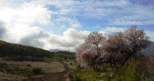 Mandelblomning i dalen över Arkivfoton