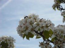 Mandelblomning med biet Arkivfoton