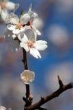 mandelblomningar Arkivfoto