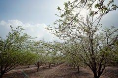 Mandelblüte Stockbilder