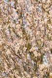 Mandelblumen lizenzfreie stockbilder