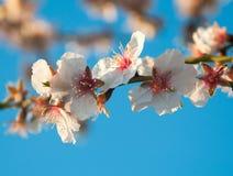 Mandelblumen auf einem Zweig. Lizenzfreies Stockbild