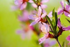 mandelen blommar makrotreen Arkivbild