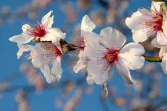 mandelen blommar treen Arkivbild