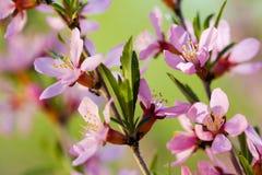 mandelen blommar treen Arkivfoto