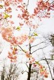 mandelen blomstrar treen Arkivfoton