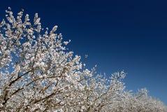 mandelen blomstrar white Arkivbild