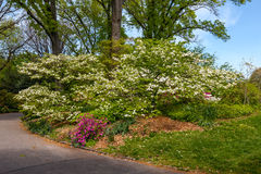 mandelen blomstrar white för tree för Cherryblomningblommor kanske Arkivfoton
