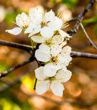 mandelen blomstrar white för tree för Cherryblomningblommor kanske Royaltyfri Foto