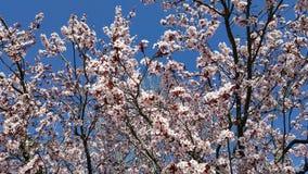 mandelen blomstrar white för tree för Cherryblomningblommor kanske Royaltyfri Bild