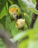 mandelen som äter papegojan, skuldrade yellow Arkivfoton