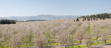 Mandelfeldblüte am Jezreel Tal Lizenzfreies Stockfoto
