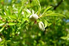 Mandelfilial med två unga oöppnade frukter arkivbilder
