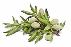 mandelfilialtree Arkivbild