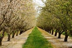 mandelfruktträdgård Arkivbilder