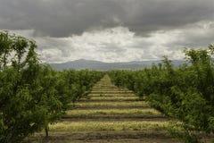 Mandelfruktträdgård Fotografering för Bildbyråer