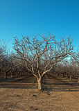 Mandelfruktträdgård i centrala Kalifornien nära Bakersfield Kalifornien Royaltyfri Fotografi