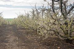 Mandelfruktträdgård i blom Royaltyfri Bild
