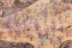 mandelfruktträdgårdfjäder Arkivfoton