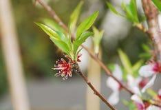 Mandeln blommar efter kronbladdroppe Arkivbilder