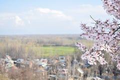 Mandeln blommar i Kashmir Valley med blom fotografering för bildbyråer