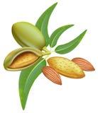 Mandeln. Breiten Sie sich mit Blättern und Früchten aus. Lizenzfreie Stockbilder