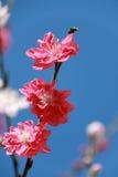 Mandelrosa färgen blommar med den mjuka bakgrunden Royaltyfria Bilder