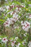 Mandelträd i blom Arkivfoto