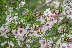 Mandelträd i blom Fotografering för Bildbyråer
