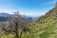 Mandelträd i förgrunden av bergen i Gran Canaria arkivfoton