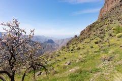 Mandelträd i förgrunden av bergen i Gran Canaria royaltyfri fotografi