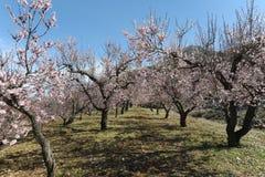 Mandelträd som täckas i delikat parfymerad rosa blomning fotografering för bildbyråer