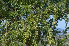 Mandelträd som täckas i mandelstenfrukter royaltyfri bild