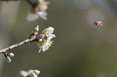Mandelträdet blommar, blå himmel, vårbakgrund Arkivfoton