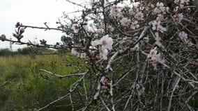Mandelträdet i dess härlighet royaltyfri fotografi