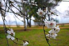 Mandelträdfilialer med vita blommor, makro royaltyfri foto