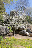Mandelträd i blom Royaltyfri Fotografi