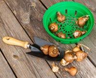 Manden voor het planten van bollen met bollen van sh gele narcissen en tuin Royalty-vrije Stock Afbeeldingen