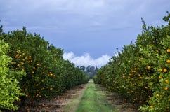 Manderin Landwirtschaft Lizenzfreie Stockfotografie