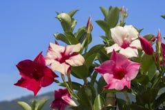Mandevilla εγκαταστάσεων αναρριχητικών φυτών ενάντια στο μπλε ουρανό Στοκ Φωτογραφίες