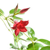 Mandevilla Royalty Free Stock Photo