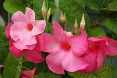 Mandevilla blossoms in shades of vibrant pink and their buds grow on climbing vines with bright green leaves. Mandevilla blossoms and buds in shades of vibrant stock photo