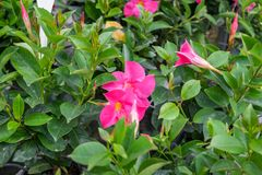 Free Mandevilla, Common Name Is Rocktrumpet Flowers Royalty Free Stock Photography - 130173297