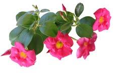 Mandevilla cor-de-rosa do Allamanda fotografia de stock royalty free